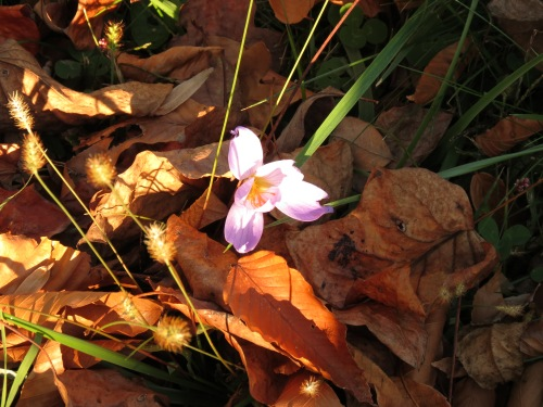 Autumn crocus